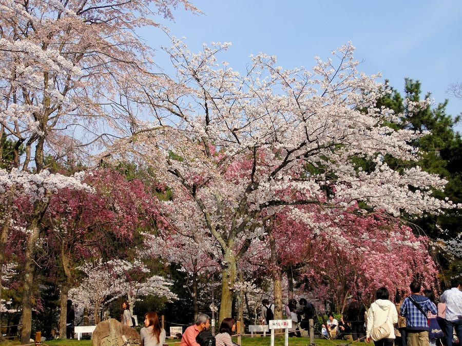 八坂桜08