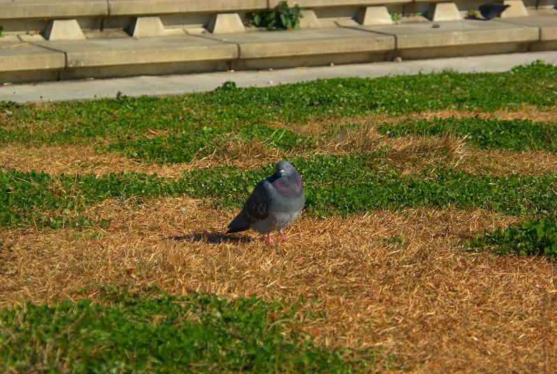 多摩川冬景色鳩