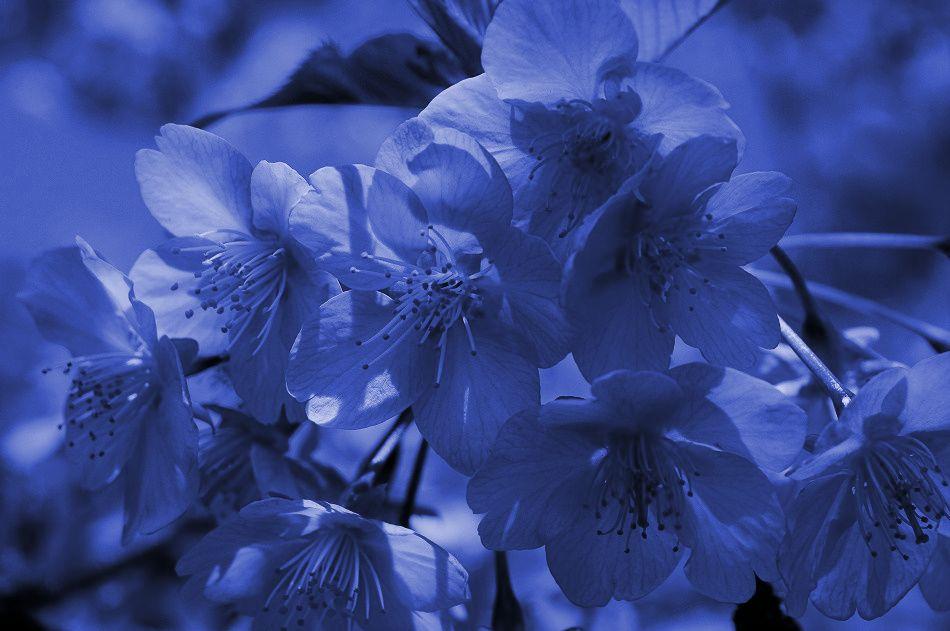 青色サクラ