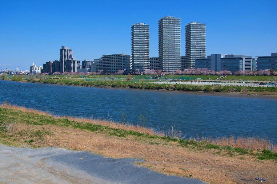 多摩川サクラ03