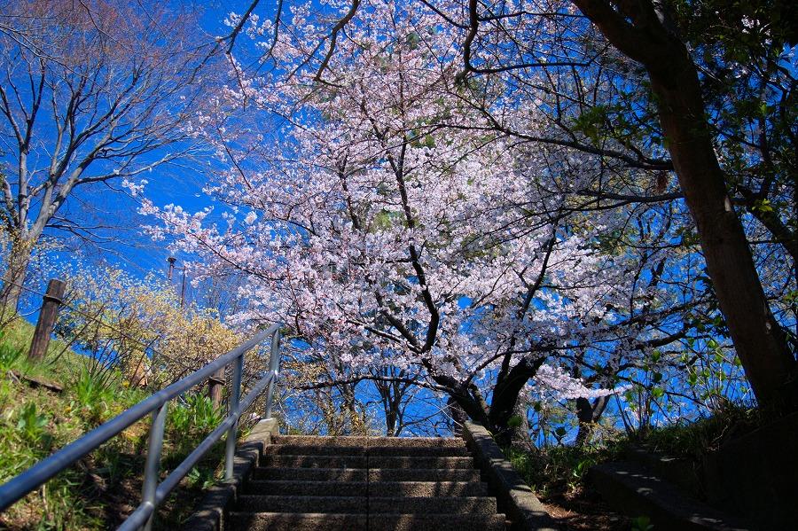 多摩川台桜01