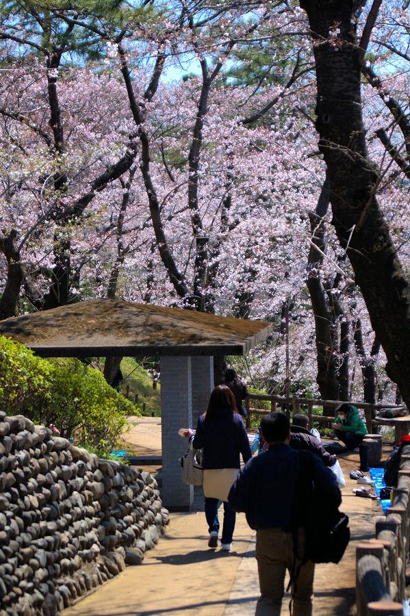 多摩川台桜05