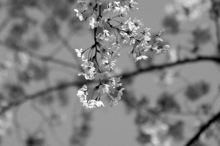 モノクロ世界桜00
