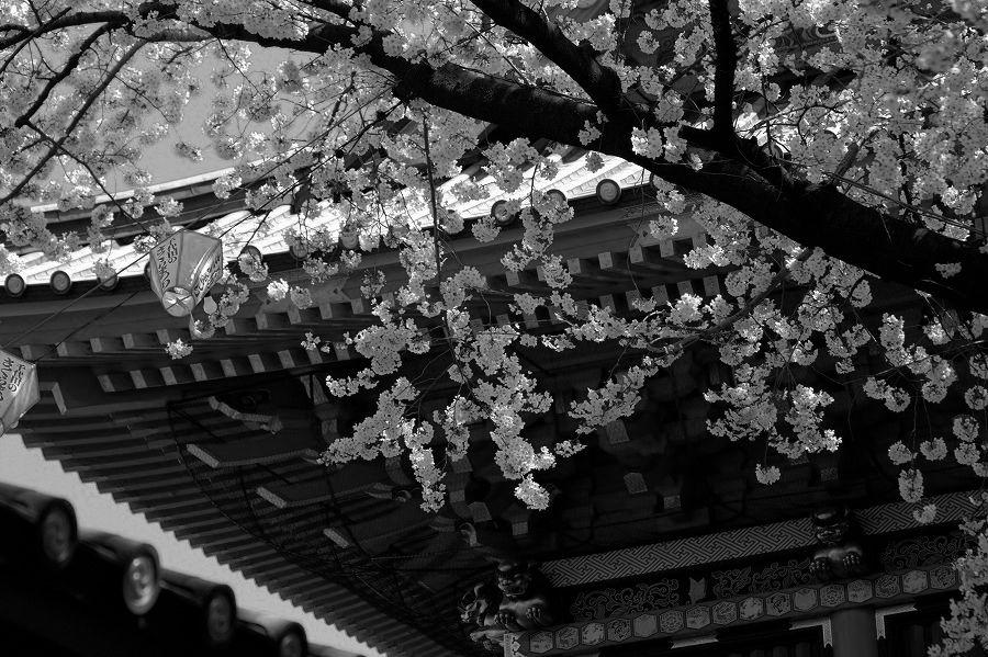 モノクロ世界桜01