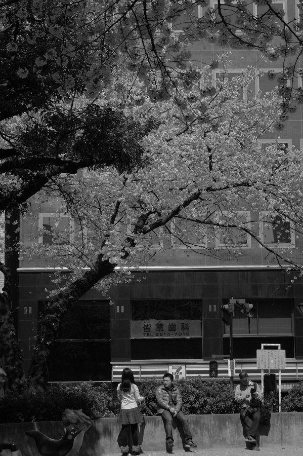 モノクロ世界桜04