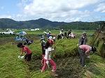 稲刈り体験3