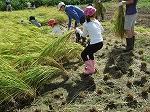 稲刈り体験1