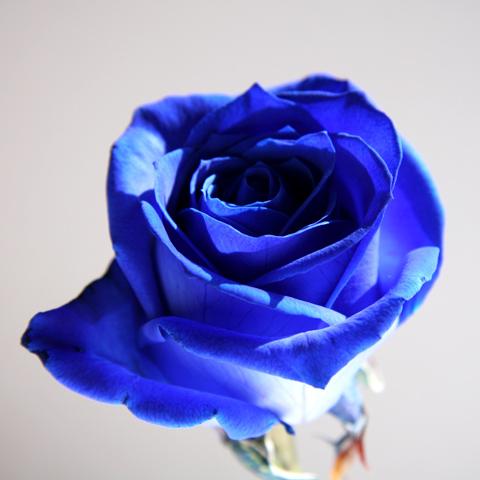 bluerose02.jpg