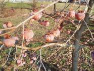柿酢をつくるほてい柿H200108