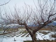 白山豊後冬剪定ビフォアH200128