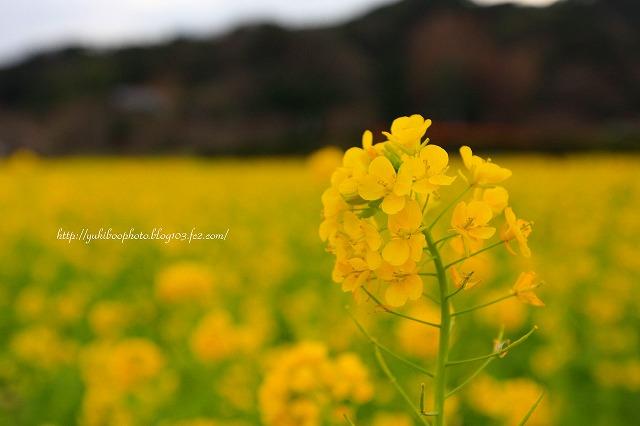 菜の花1s