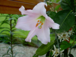 250px-Lilium_japonicum_(1).jpg