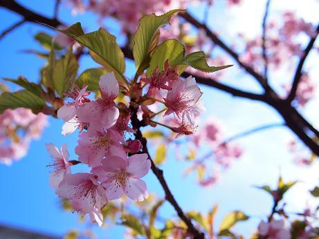 今年の河津桜