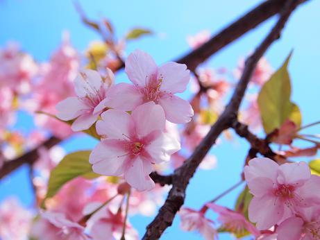 今年の河津桜 2