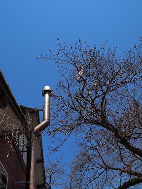 咲き始めた桜 1