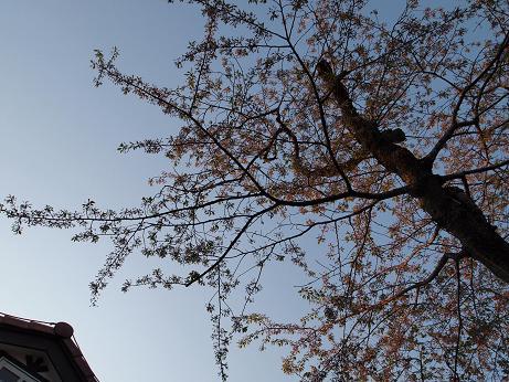 シベだけになった桜