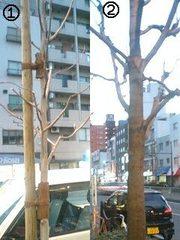街路樹 新旧