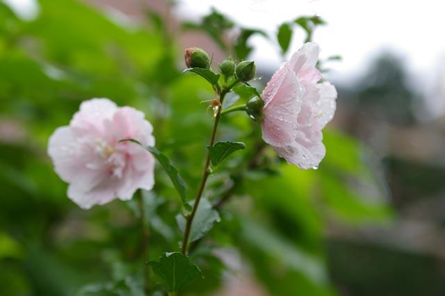 たっぷりしずくの付いた淡いピンクの花