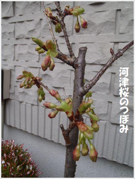 河津桜の蕾みが膨らんだ♪