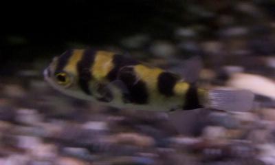 南米淡水フグ 流し撮り