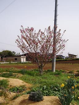 八重桜「カンザン」咲き始めました